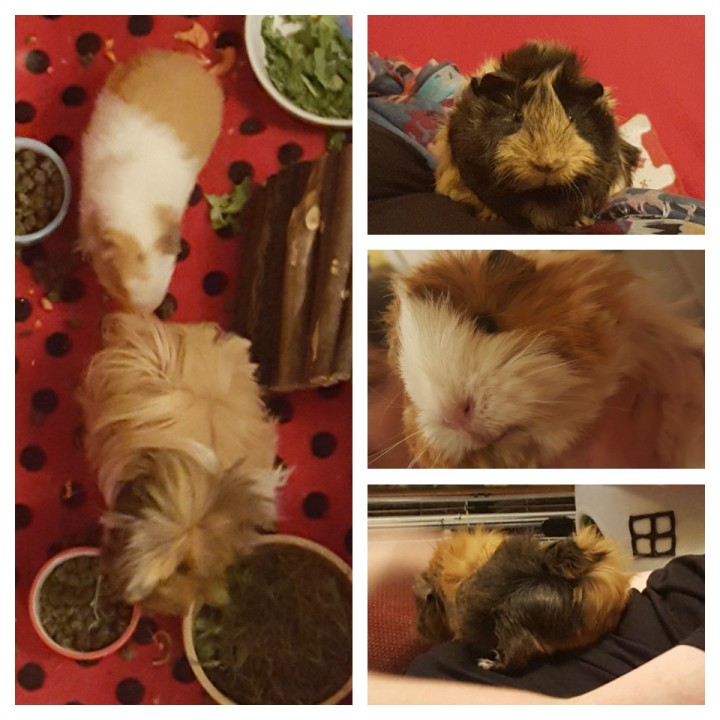 guinea-pig-collage-1